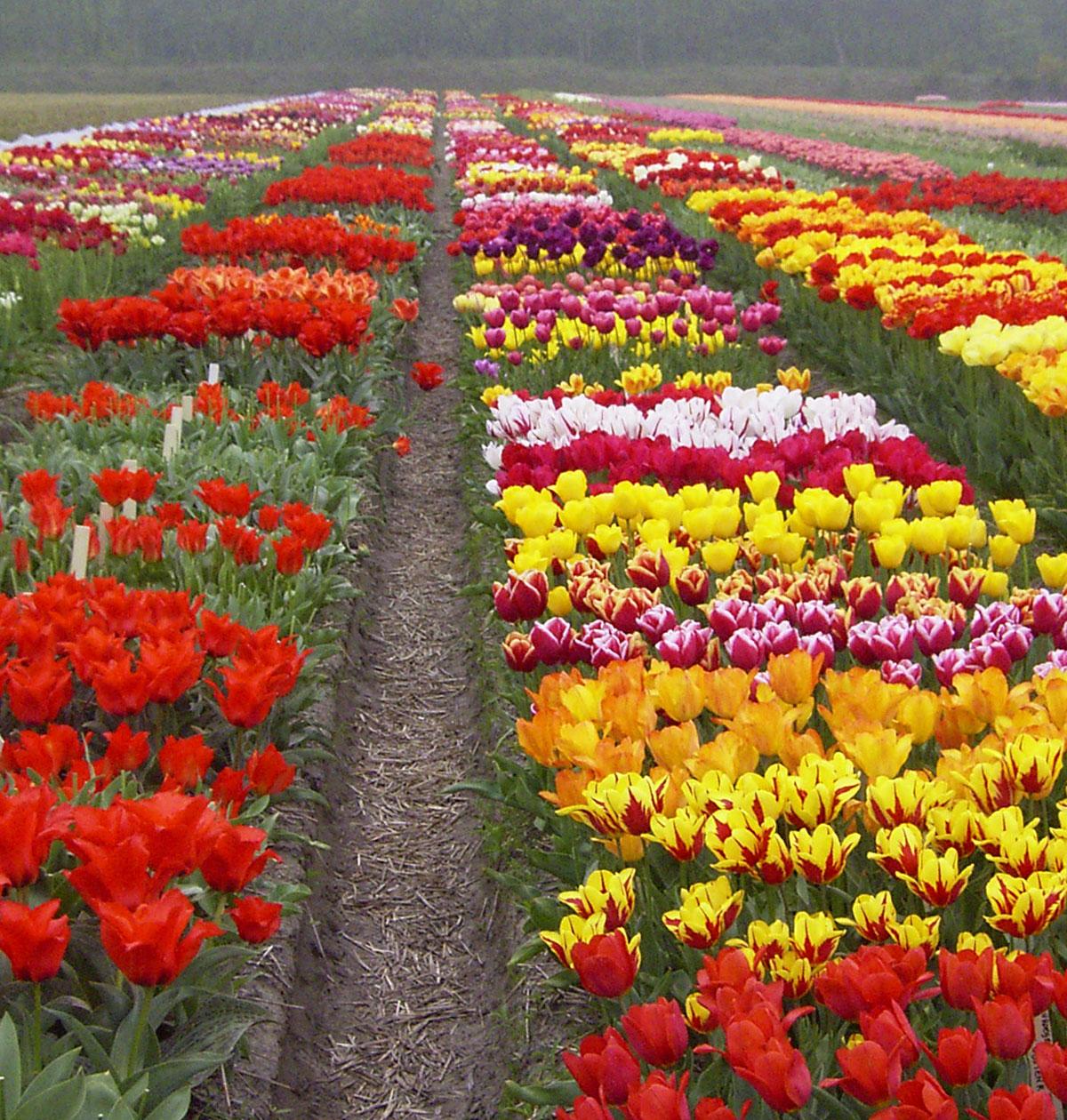 Familien Breed tulipansamling 2