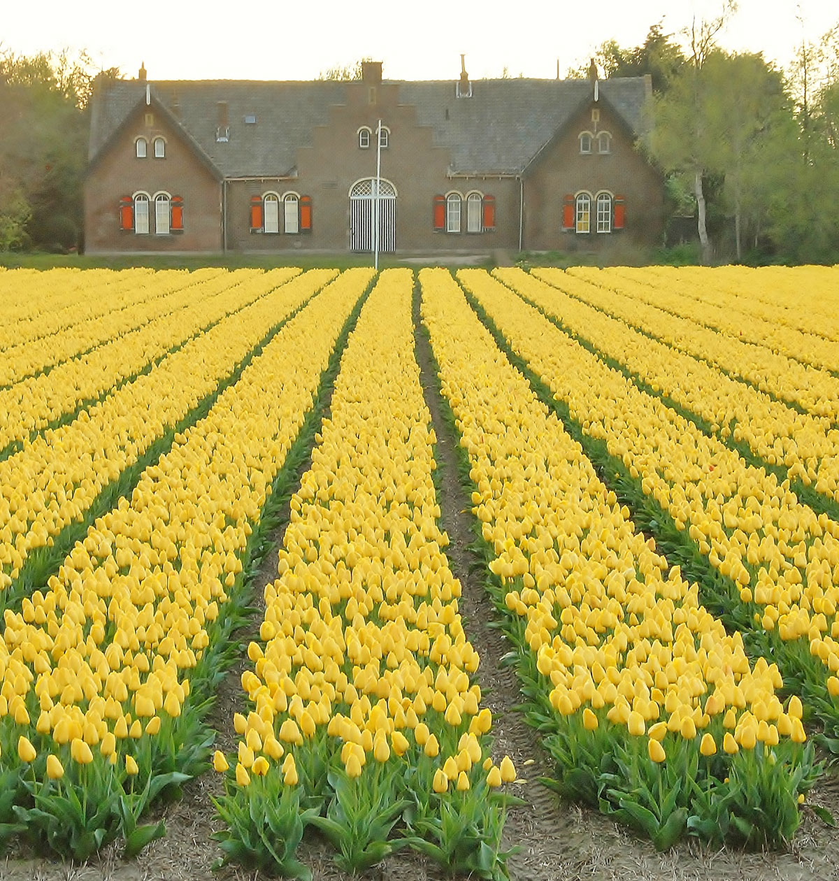Tulipan Golden Apeldoorn