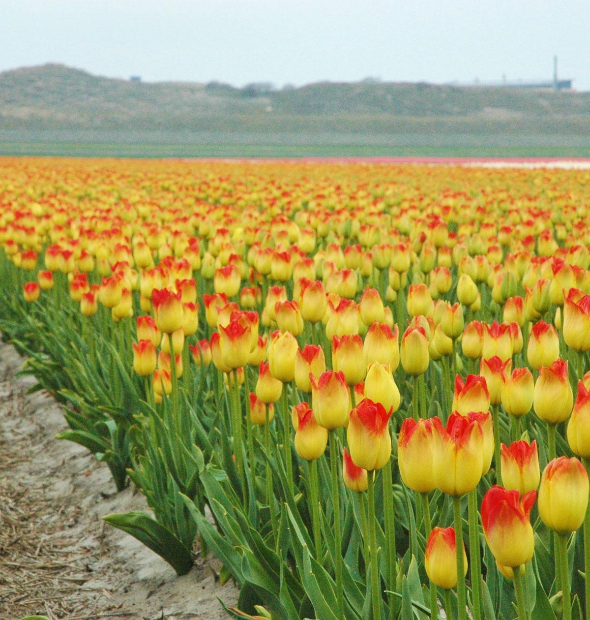 Tulipan Aperitif