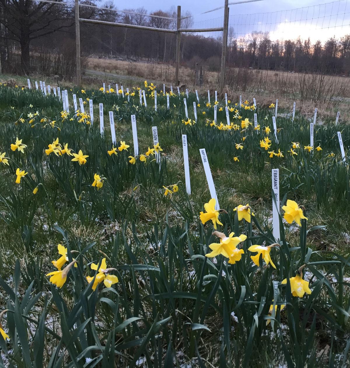 Narcis-forsøg i prøvemarken i april