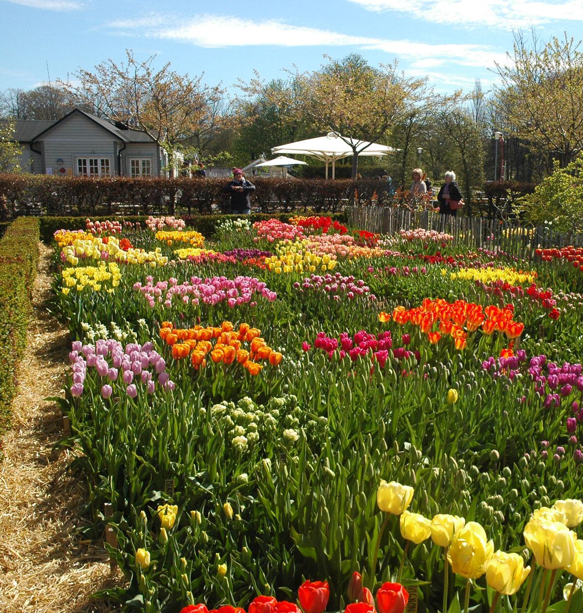 Slottsträdgården fremviste 140 sorter af tulipaner.