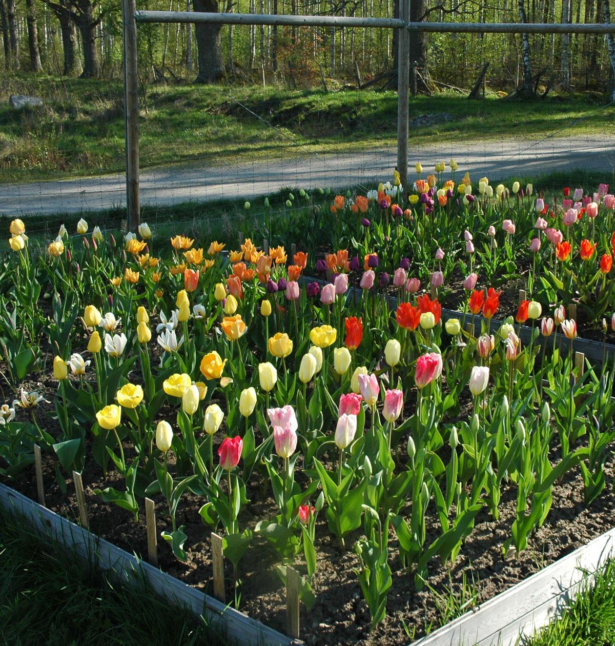 Tulipaner i blomst i prøvemarken 2