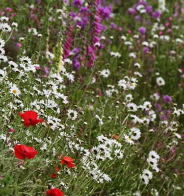 native-meadow-pictorial meadows