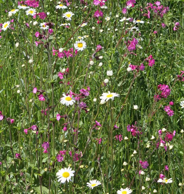 native-meadow-2-with-silene