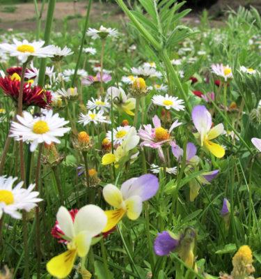 pollinator-lawn