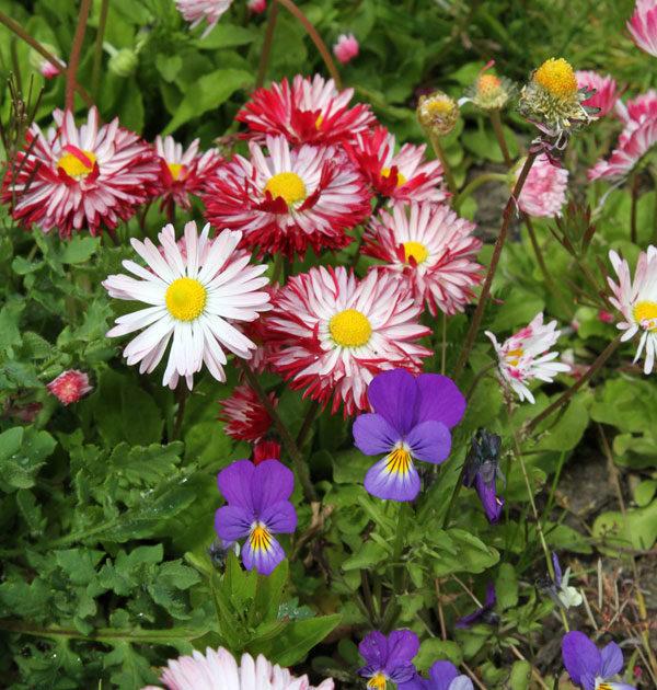 pollinator-lawn-close-up